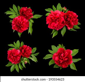 Red peonies on a black background. Vector illustration.