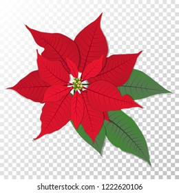 Red poinsettia vector flower Christmas symbol illustration. Pulcherrima blooming plant on transparent background. Traditional Christmas poinsettia flower with green leaves and red petals.