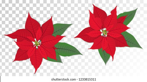 Red poinsettia vector flowers set. Christmas symbols illustration. Pulcherrima blooming plant on transparent background. Traditional Christmas poinsettia flower with green leaves and red petals.