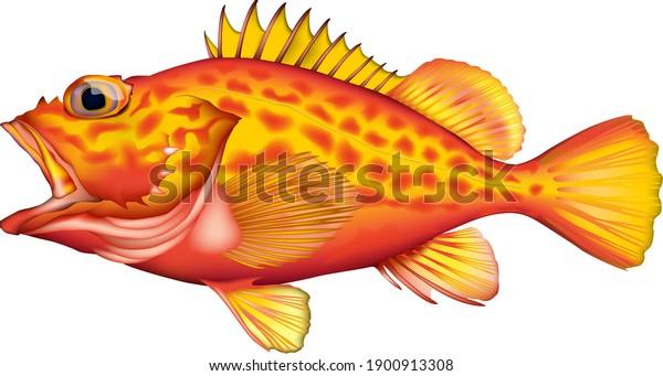 「(黄色い赤い岩魚)」イラスト、ベクター画像EPS形式のリアルアート