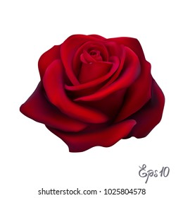 Red Rose isolated on white background close up. Photo-realistic mesh vector illustration.