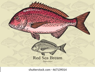 Red Sea Bream, Porgy. Vector illustration with refined details and optimized stroke that allows the image to be used in small sizes (in packaging design, decoration, educational graphics, etc.)