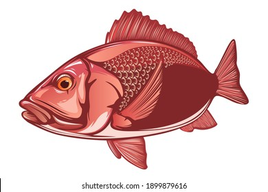 Red snapper isolated vector illustration. Fishing logo of red snapper. Fishing emlem for company or sport club. Marine theme background.