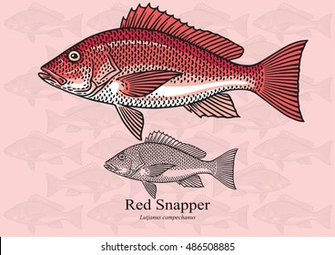 Red Snapper. Vector illustration with refined details and optimized stroke that allows the image to be used in small sizes (in packaging design, decoration, educational graphics, etc.)