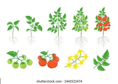 Red tomato plant set. Tomatoes bush harvest. Green and ripe tomatoes. Bloom. Leaves on a branch. Flat color vector.