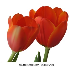 Red tulips isolated on white background. Photo realistic vector illustration.