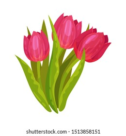 Red tulips. Vector illustration on a white background.