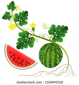 Watermelon Plant High Res Stock Images Shutterstock