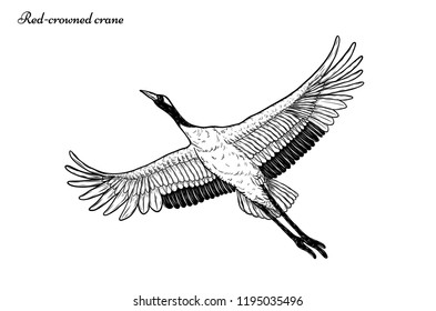 Red-crowned crane vector flying by hand drawing.Beautiful bird on white background.Grus japonensis art highly detailed in line art style.Chinese bird for tattoo or wallpaper.