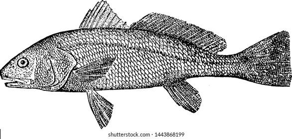Redfish, vintage engraved illustration drawing