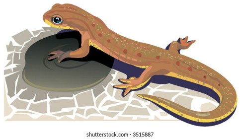 a red-spotted newt and a shrinking puddle