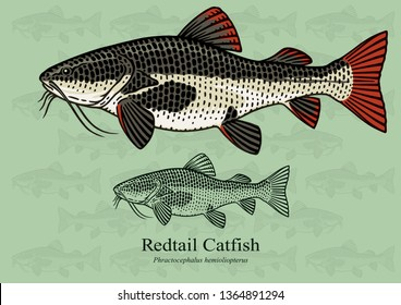 Redtail Catfish. Vector illustration with refined details and optimized stroke that allows the image to be used in small sizes (in packaging design, decoration, educational graphics, etc.)