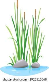 Reed mace plant grow near the water isolated illustration, water plants for decorative pond in landscape design garden, green lake bulrush plants with stones in water on side view