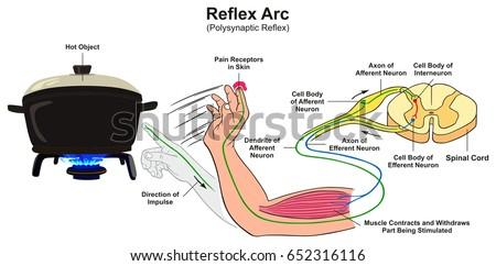reflex arc infographic diagram example polysynaptic stock vector
