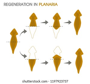 Regeneration in Planaria.Illustration Vector EPS10 on white background.