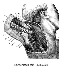 Region of the armpit., vintage engraved illustration. Usual Medicine Dictionary by Dr Labarthe - 1885