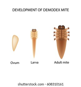 Reproduction of the mite Demodex. Larva, adult. Demodecosis. Infographics. Vector illustration on isolated background