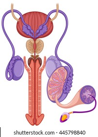 Reproductive system in male illustration