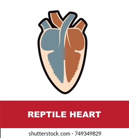 reptile heart anatomy vector illustration