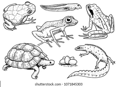 Reptiles and amphibians set. Pet and tropical animals. Wildlife and Frogs, lizard and turtle, chameleon and anuran Engraved hand drawn in old vintage sketch. Vector illustration. Exotic Zoology.