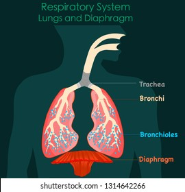 Respiratory system anatomy. Lungs and diaphragm. green dark background.annotated diagram. 2d medical illustration