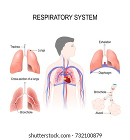 respiratory system: bronchiole and bronchi, diaphragm, trachea, alveoli and cross-section of the lungs. Vector illustration for your design and medical use. human anatomy. silhouette of a man