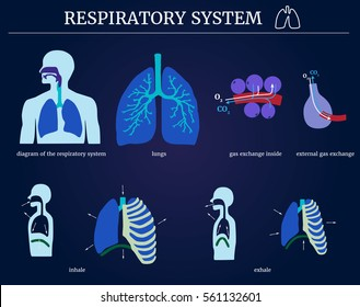 Respiratory system: diagram of the respiratory system with lungs, inside gas exchange, external gas exchange, inhale and exhale, On a blue background