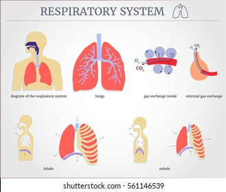 Respiratory system images stock photos vectors shutterstock respiratory system diagram of the respiratory system with lungs inside gas exchange external ccuart Choice Image