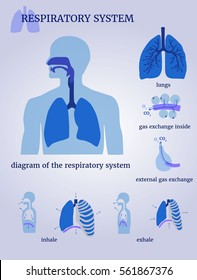 Respiratory system: diagram of the respiratory system with lungs, inside gas exchange, external gas exchange, inhale and exhale. On a white background. The blue color scheme.