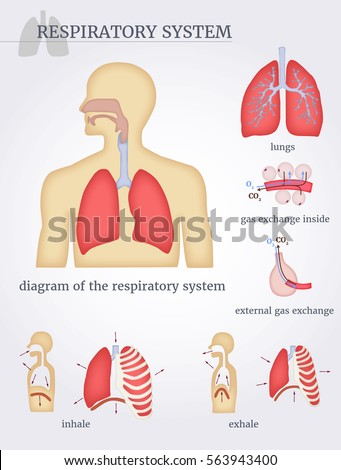 Respiratory System Diagram Respiratory System Lungs Stock Vector
