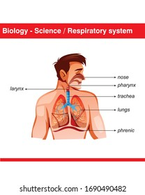 Respiratory system and diaphragm muscle for Science and Biology