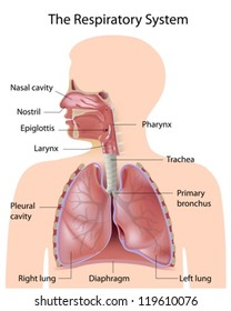 respiratory system images stock photos vectors shutterstock rh shutterstock com Heart Lungs Respiratory System Diagram Human Respiratory System Diagram