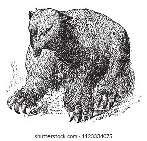 Restoration of the fossil Edites of South America, Megatherium of Cuvier, vintage engraved illustration. From Natural Creation and Living Beings.