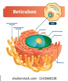500 Endoplasmic Reticulum Pictures Royalty Free Images Stock