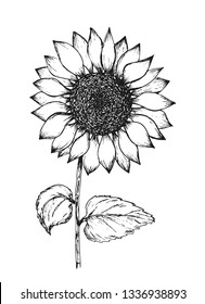 Retro black outline ink pen sketch of sunflower. Hand drawn illustration of beautiful sun flower isolated on white background for botanical pattern design, greeting card decoration