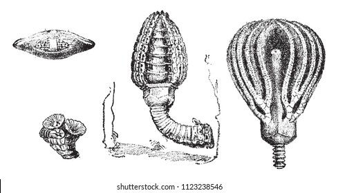 Rhizopoda foraminifera, Cupressocrinus crassus, vintage engraved illustration. From Natural Creation and Living Beings.