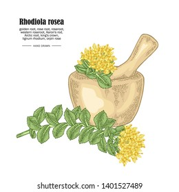 Rhodiola rosea branch and wooden bowl isolated on white background. Medical and cosmetic herbs. Vector illustration hand drawn.