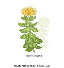 Rhodiola Rosea flower. Color medical herbs and plants Isolated green on white background series. Vector illustration. Art sketch. Hand drawing object of nature. Vintage engraving style. Green, yellow.