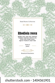 Rhodiola rosea flowers and leaves. Vintage background. Medical and cosmetic herbs. Vector illustration.