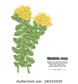 Rhodiola rosea or golden root branch isolated on white background. Medical and cosmetic herbs. Vector illustration hand drawn.
