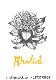 Rhodiola rosea or golden root popular super food
