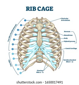 Rib cage anatomy, labeled vector illustration diagram. Medical human chest skeletal bone structure model. Numbered ribs, sternum, cartilage parts and clavicular articulation. Health care education.