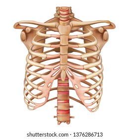 Rib cage bones. Human skeletal system. Anatomy. Vector illustration isolated on a white background.
