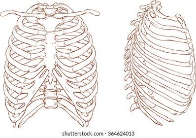 rib cage brown and white illustration