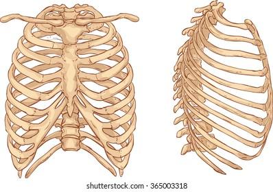 rib cage illustration