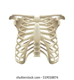 Rib cage isolated on white vector illustration