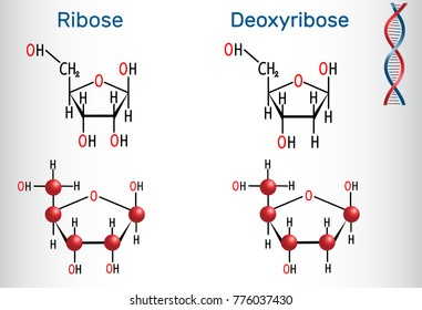 Ribose and deoxyribose molecules, they are monosaccharides and form part of the backbone of DNA and RNA. Structural chemical formula and molecule model. Vector illustration