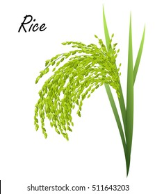 Rice (Oryza sativa, Asian rice). Hand drawn realistic vector illustration of green rice plant on white background.