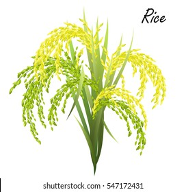 Rice (Oryza sativa, Asian rice). Hand drawn realistic vector illustration of  rice panicles on white background.