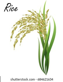 Rice (Oryza sativa, Asian rice). Hand drawn realistic vector illustration of rice plant isolated on white background.